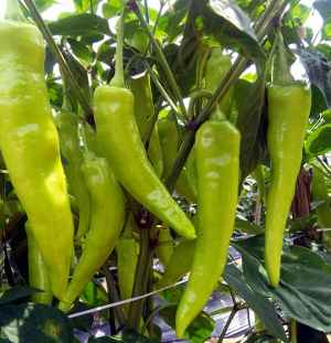 Green Chilli Crop