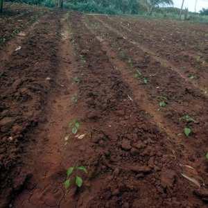 Chilli plantation