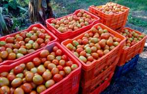Harvested tomato crop