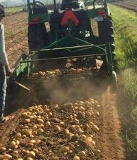 Harvesting Potato Crop