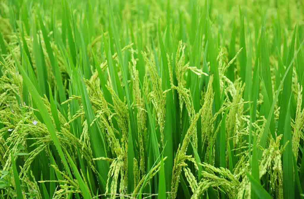 Paddy Cultivation Guide: Different Methods of Rice