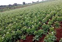 Flowering in Potato Growing