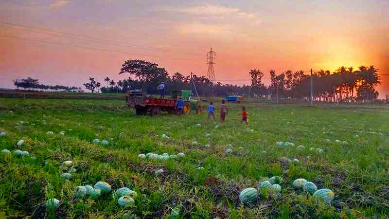 Harvesting in watermelon cultivation